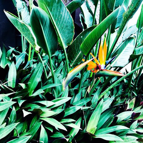 Paint The Town Yellow Leaf Bird Of Paradise - Plant Beauty In Nature Freshness Flower