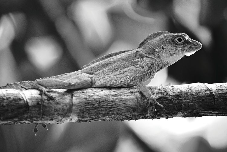 Nature On Your Doorstep Puerto Rican Crested Anole Lizard Lagartijo Backyard Garden Anolis Cristatellus Close-up Animal Themes Reptile Beauty In Nature Nature Lagartijo Comun Caribbean Life Puerto Rico Backyard Photography