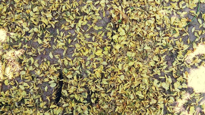 petal full ground Gloden Shower Gloden Tree Yellow Flower Yellow Petal Petals🌸 Petals Backgrounds Full Frame Pattern Textured  Close-up Creeper Creeper Plant Overgrown Root Soil Moss Dense Vine Ivy LINE Leaves Growing Blooming Wilted Plant Plant Life Leaf Vein Dried