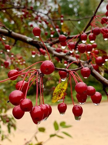 Fruit Healthy Eating Food Food And Drink Berry Fruit Tree Red Growth Plant Nature
