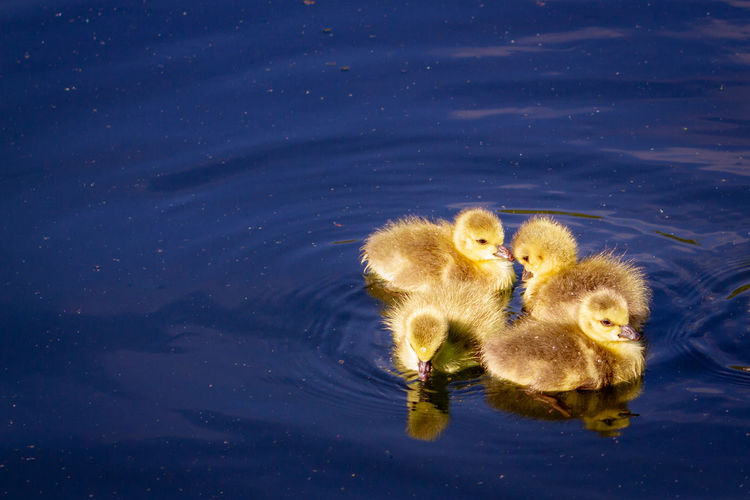 High angle view of ducklings in lake