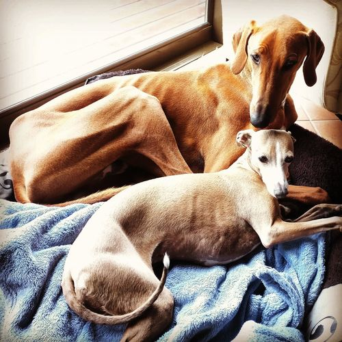 High angle view of azawakh and italian greyhound on bed at home