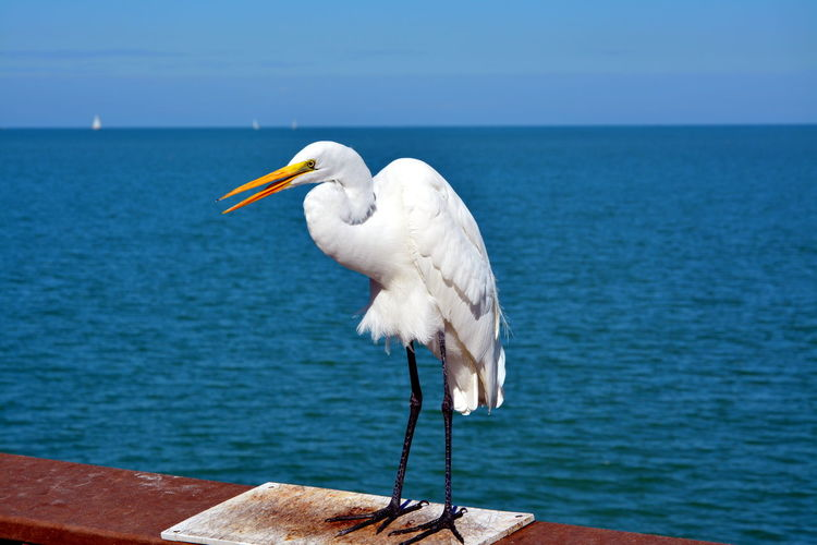 Great Egret Perching On Wooden Railing By Sea Against Sky
