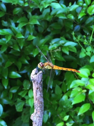 Nature Nature On Your Doorstep Dragonfly Gingerly