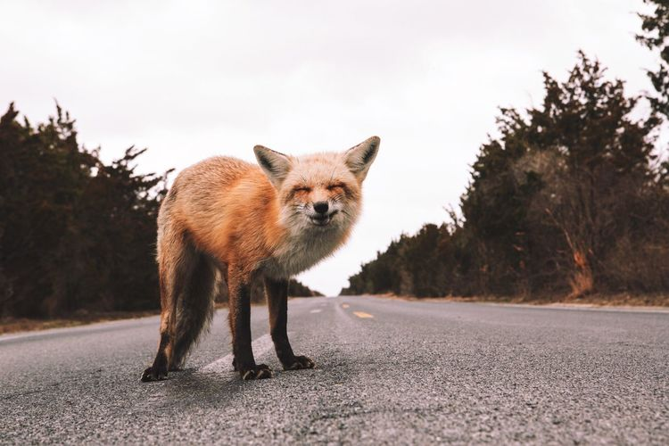 Say cheese 🧀 Instagram: @ One Animal Animal Themes Road Animals In The Wild Animal Wildlife Outdoors Day Looking At Camera Mammal Portrait Asphalt Fox Nature No People Been There. EyeEm Masterclass EyeEm Best Shots EyeEmNewHere EyeEm Best Shots - Nature EyeEmNewHere EyeEmNewHere Fresh On Market 2017