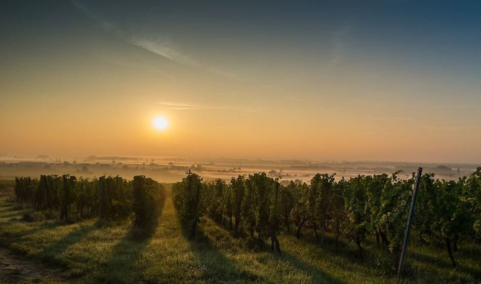 Wine yard in the sunrise in Alsace France HDR Grapes 🍇 Winecountry Wineyard Nature Sunset Scenics Beauty In Nature Tranquil Scene Field Tranquility Landscape Sun Sunlight Growth No People Sky Tree Agriculture Outdoors Rural Scene Grass Day