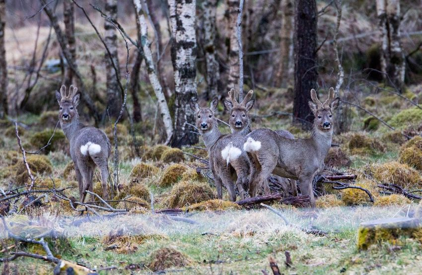 Roedeer Nature WoodLand Tree Outdoors Animal Beauty In Nature Norwegian Wildlife Animals In The Wild Wildlife Nature Norway