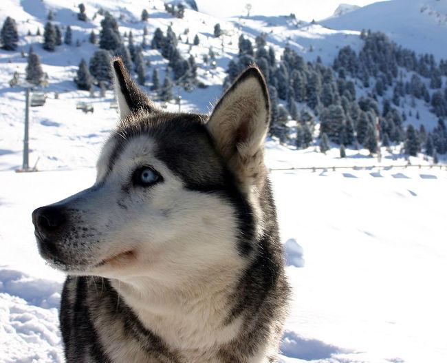 Close-Up Of Husky On Snow
