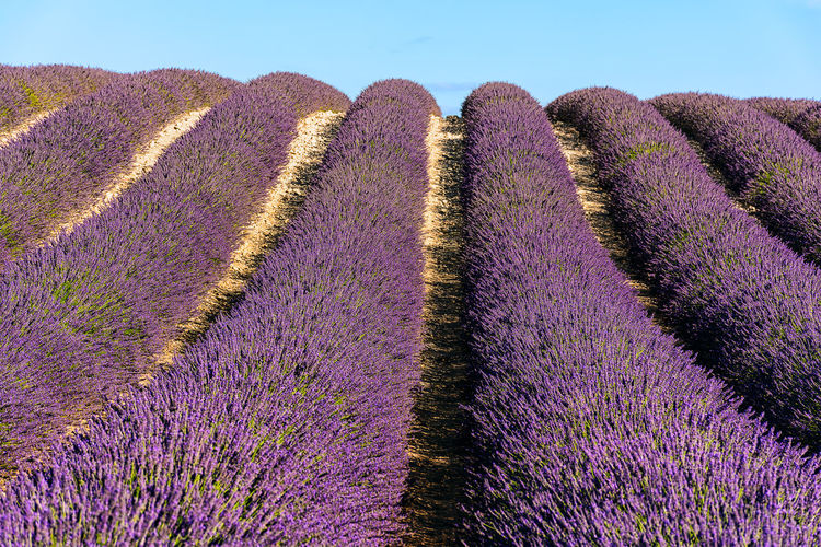 Rows of lavender Beauty In Nature Climbing Composition Contrast Daylight Freshness Hill Landscape Lavender Lavender Colored Lavender Fields Leading Lines Light And Shadow Perfume Provence Purple Purple Worms Rocks Rows Rows Of Lavender Rural Scene Scended Scenics South Of France Summer