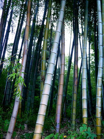 Abundance Backgrounds Bamboo Bamboo - Plant Beauty In Nature Denseforest Forest Green Color Growing Growth Low Angle View Nature No People Non-urban Scene Tall - High Tree Trunk Trunk WoodLand