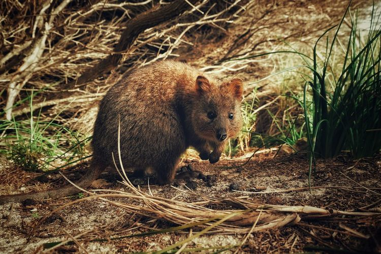 Quokka by plants at forest