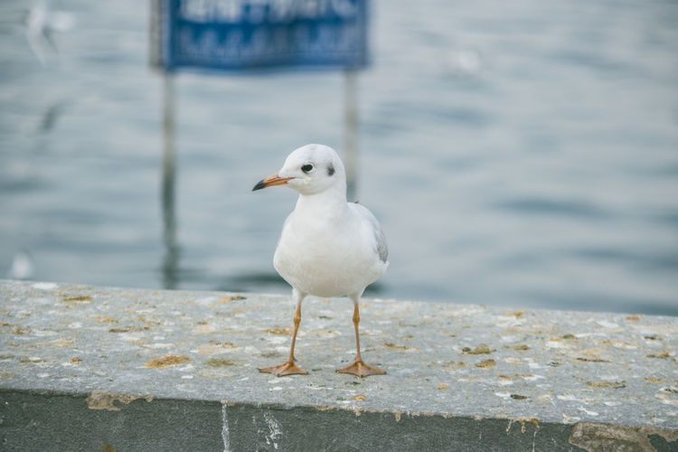 Animal Animal Themes Animal Wildlife Animals In The Wild Bird Close-up Day Focus On Foreground Nature No People One Animal Outdoors Perching Retaining Wall Sea Sea Bird Seagull Vertebrate Water Wooden Post