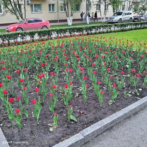 20140612 , Кемерово , улицаВесенняя . Тюльпаны / Kemerovo. Vesennyaya street. Tulips.