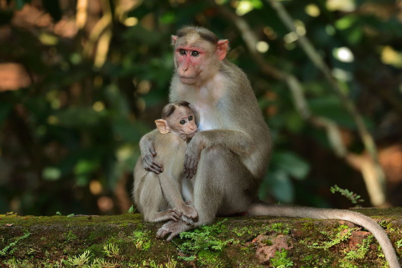 A bonnet macaque feeding it's baby