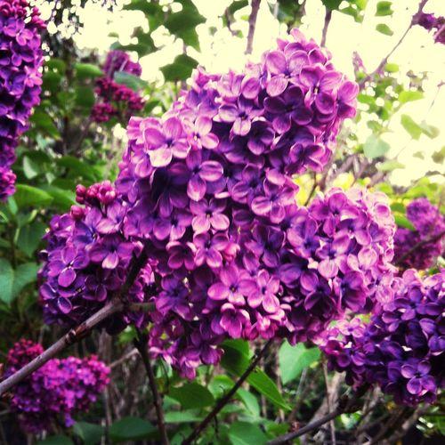Lilacs Purple Flowers