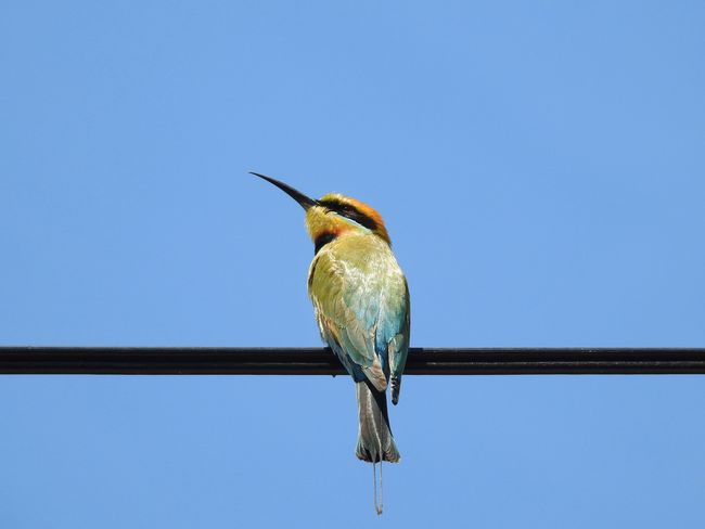 Rainbow Bee Eater One Animal Bird Animals In The Wild Animal Themes Perching Clear Sky Animal Wildlife Blue Copy Space No People Outdoors Day Low Angle View Nature Full Length Kingfisher Beauty In Nature Close-up Sky Go Higher