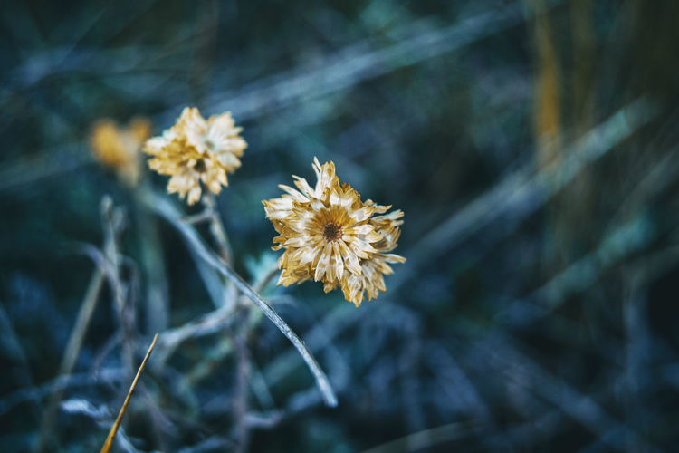 Helichrysum flower in nature outdoors, close up view and totally dry