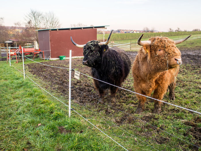 Scottisch highland cattle on the pasture Mammal Animal Themes Domestic Animals Domestic Animal Pets Field Livestock Land Grass Vertebrate Group Of Animals Barrier Fence Boundary Nature Plant Day Cattle No People Highland Cattle Outdoors Herbivorous