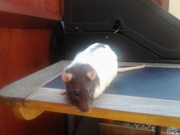 wiwi my lil rattie. Pet Rat Pet