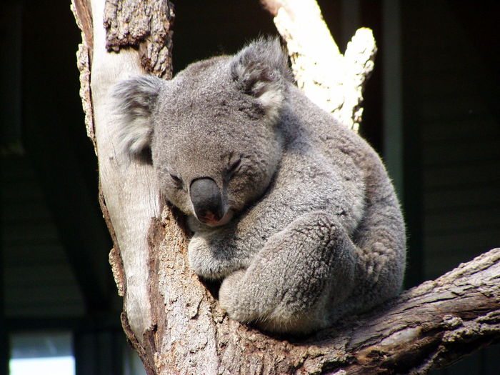 Koala on the tree