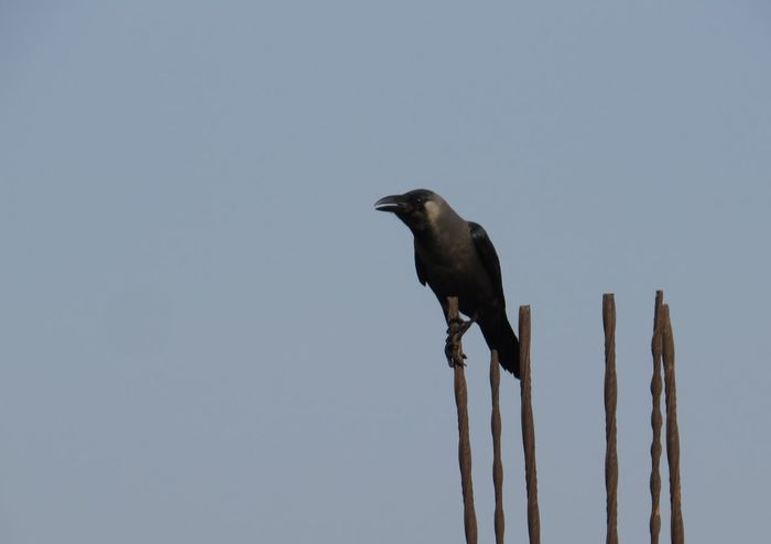 Crow Animal Themes Bird Crow One Animal Outdoors Perching Side View Stronghold Zoology
