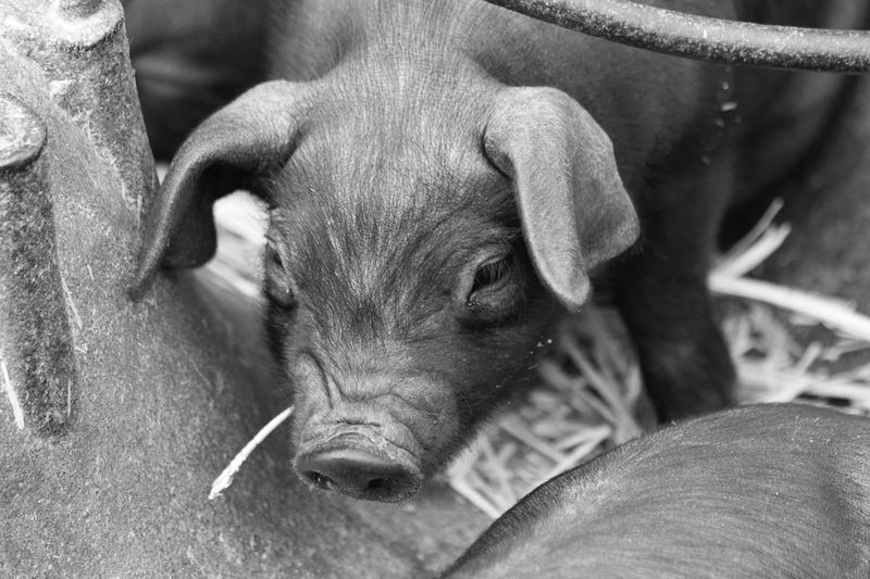 Piglet with straw Piglet Pig Farm Farm Life Baby Piglet Baby Pig Black Piglet One Animal Young Animal Close-up Outdoors Nature Animal Themes Mammal Day No People Blackandwhite Photography Hairy  Straw In Mouth Straw Creature Cute Piglet EyeEm Nature Lover EyeEmNewHere