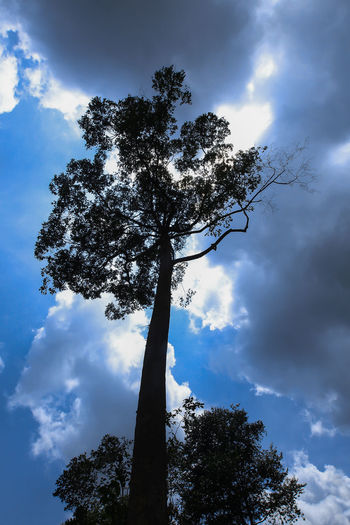 Big trees in the forest with clouds and blue sky Beauty In Nature Blue Branch Cloud - Sky Day Growth Low Angle View Nature No People Outdoors Plant Scenics - Nature Silhouette Sky Sunlight Tall - High Tranquility Tree Tree Trunk Trunk