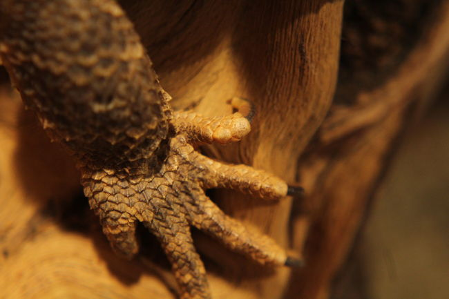 Animal Animal Themes Animals In The Wild Bartagame Bearded Dragon Close Up Close-up Day Echse EyeEm Animal Lover Focus On Foreground No People One Animal Pogona Reptile Reptile Reptile Photography Reptile World Reptilelove Reptiles Selective Focus Showcase: January Spikey Terrarium