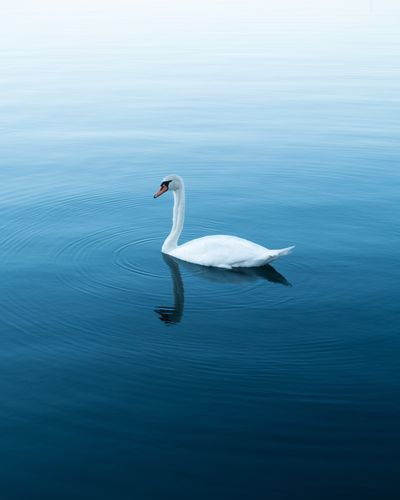 Daydream One Animal Animals In The Wild White Color Swan Lake Bird Animal Wildlife Nature No People Water Outdoors Beauty In Nature Reflection TheWeekOnEyeEM Lost In The Landscape The Week On EyeEm EyeEm Ready