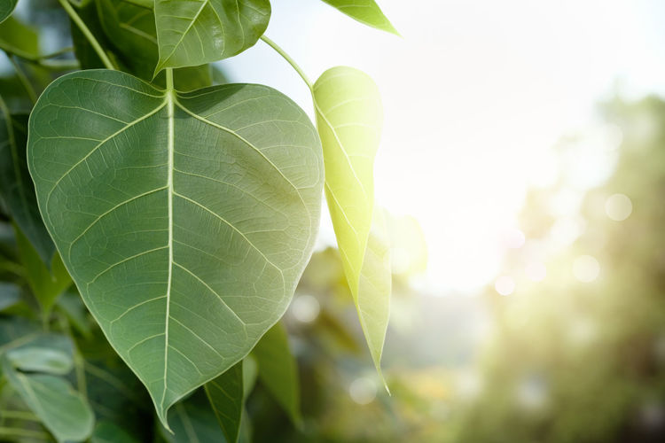 Leaf Nature Plant Outdoors Close-up Growth Day Tree Fragility Freshness No People Beauty In Nature Defocused Blossom Copy Space Pho Pho Leaves