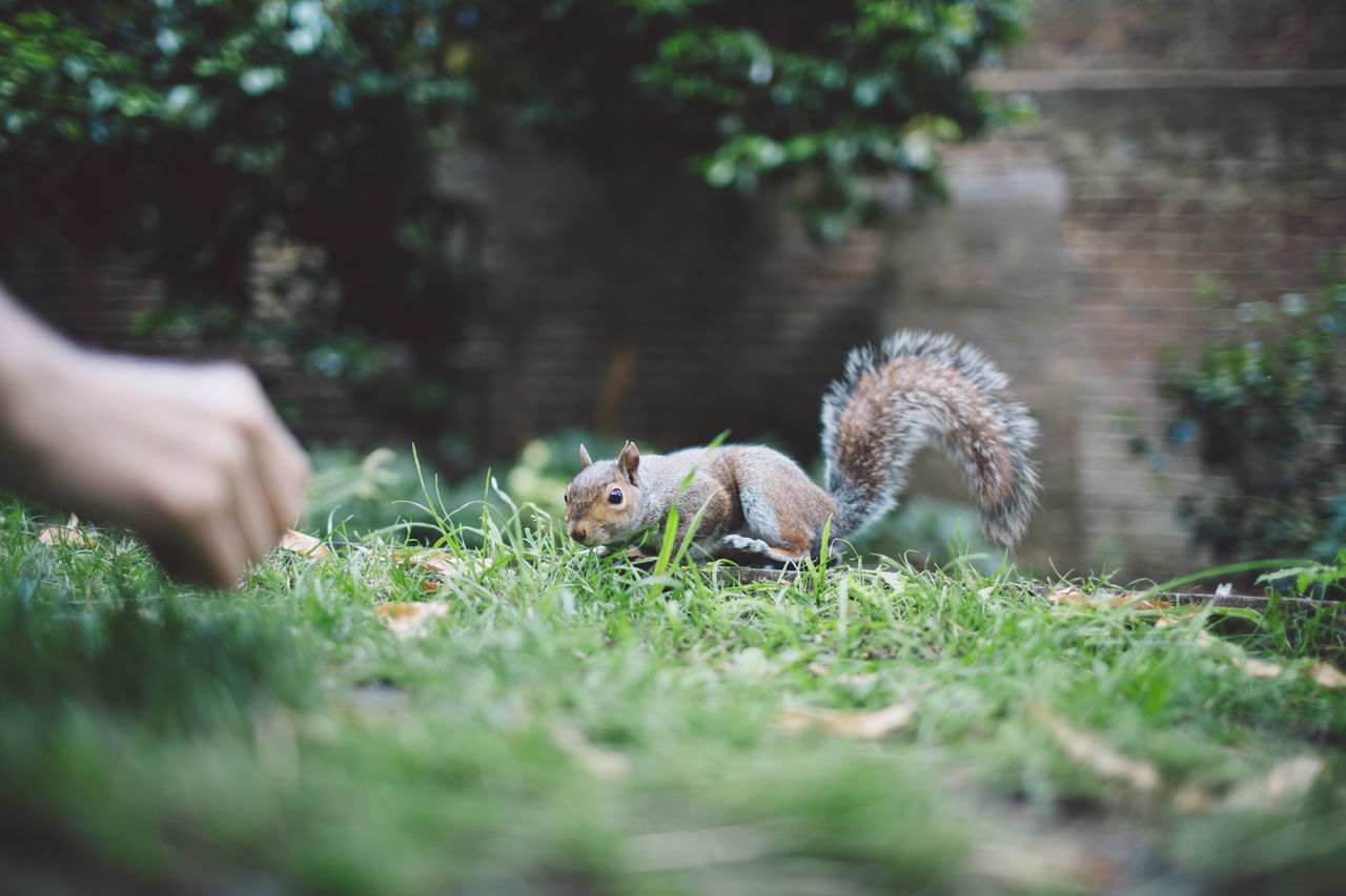 Cropped Hand Of Person By Squirrel On Grassy Field