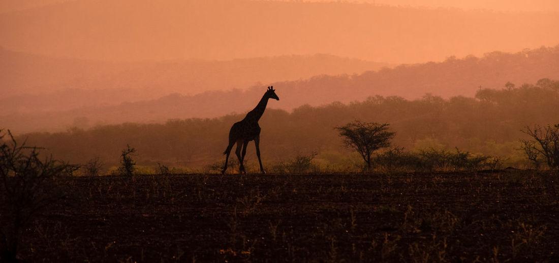 Silhouette giraffe standing on landscape against sky during sunset