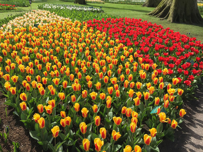 Flowers Nature Garden Beautiful Holland Trees Holiday Spring Pink Red Outdoors Blooming White Park Yellow Tulips Plant Netherlands Growth Fragility Freshness Keukenhof Beauty In Nature No People Keukenhof Is The Most Beautiful Spring Garden In The World