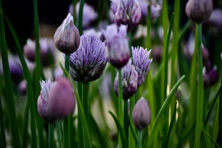Flower Head Selective Focus Freshness Flower Bud Springtime Field Close-up Petal Day Outdoors No People Plant Chive Flower In Blossom Chives Purple EyeEm Flower EyeEm Flowers Collection