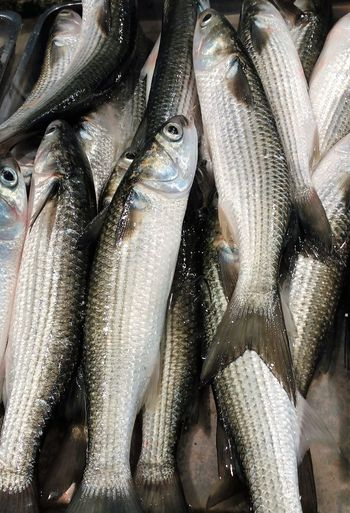 Grey Mullet Backgrounds Close-up Fish Fish Market Food Food And Drink Freshness Full Frame Grey Mullet Healthy Eating Large Group Of Objects Market Market Stall Raw Food Retail  Seafood Whole Fish