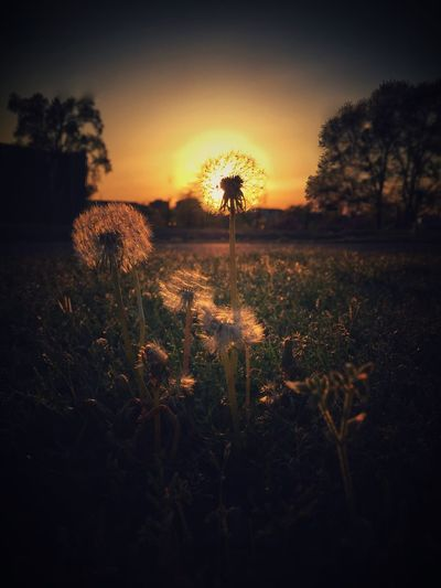 Just for fun, weeds in the sun Dandelion Dandelions Weeds Sunset Enjoying The Sun Soaking Up The Sun Walking Around Weedy EyeEm Nature Lover Nature