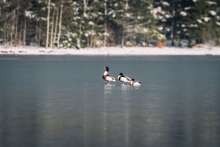 Animal Animal Themes Animals Animals In The Wild Bird Birds Birds Of EyeEm  Birds_collection Day Duck Ducks Eyem Best Shots Family Family❤ Frozen Lake Lake Nature Nature Nature_collection Outdoors Water Waterfront Wild Wildlife Wildlife & Nature Lost In The Landscape