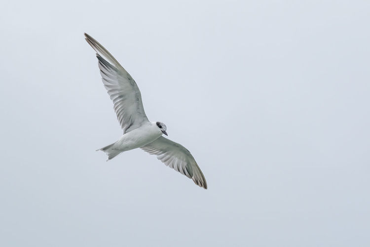 Low angle view of seagull flying against clear sky