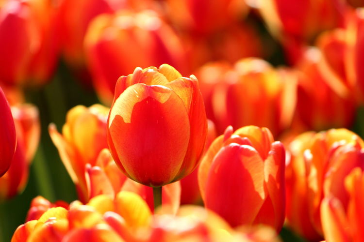 Beauty In Nature Close-up Day Flower Flower Head Flowering Plant Food Fragility Freshness Full Frame Growth Inflorescence Nature No People Petal Plant Red Selective Focus Tulip Vulnerability