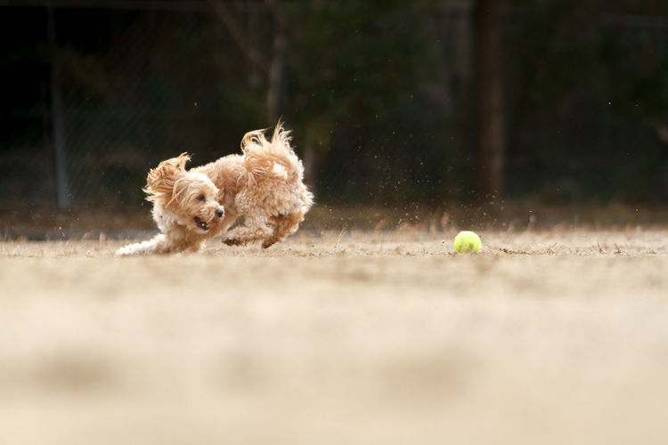 Dog Running With Ball On Field