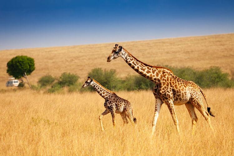 Giraffe walking on grassy field