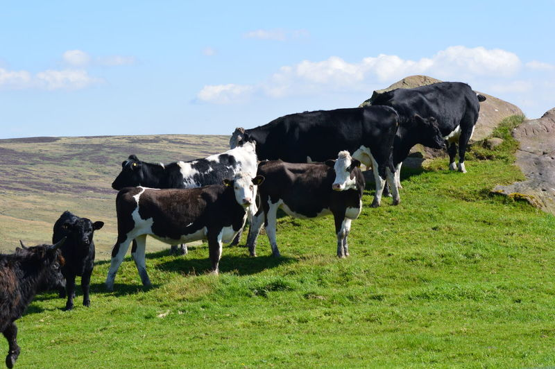 Cows grazing on green hill