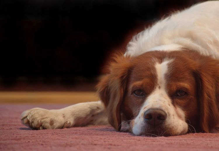 Brittany Spaniel Indoors  Cute Pet One Animal Canine Dog Animal Themes Mammal Pets Domestic Domestic Animals Relaxation Animal Vertebrate Resting No People Portrait Lying Down Looking At Camera Close-up Animal Body Part Animal Head