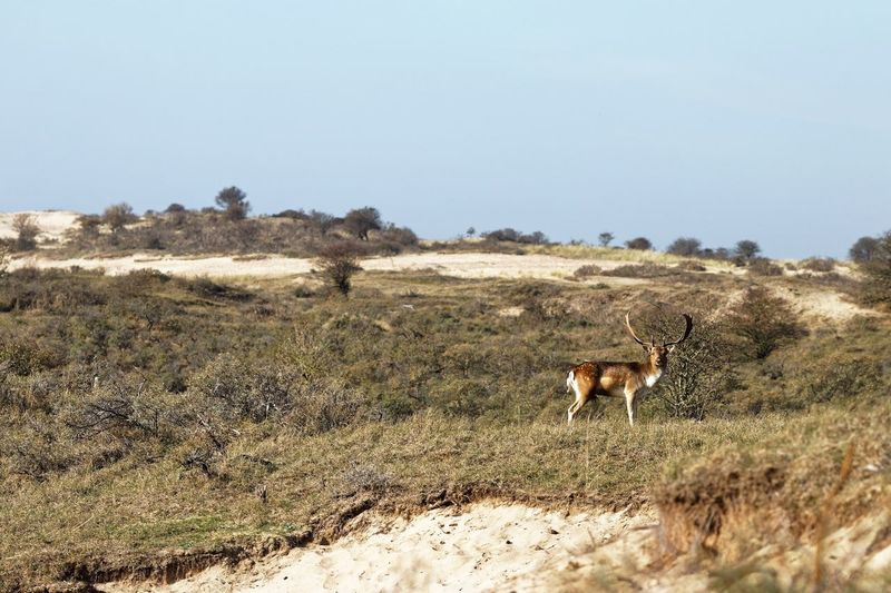 Out in the open Dunes Of Holland Buck Fallow Deer Mammal Animal Animal Themes Domestic Animals Vertebrate Land Nature Animals In The Wild No People Animal Wildlife Sunlight One Animal Landscape