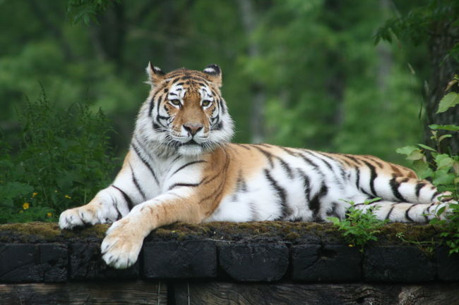 Animal Markings Animal Themes Animal Wildlife Big Cat Carnivora Day Endangered Species Feline Full Length Longleat Safari Park Lying Down Mammal Nature No People One Animal Outdoors Portrait Relaxation Striped Threatened Species Tiger Tigers
