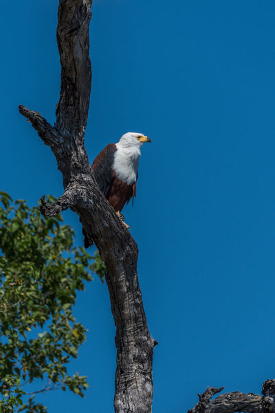 African Fish Eagle Animal Avian Beauty In Nature Bird Blue Branch Clear Sky Close-up Day Growth Low Angle View Nature No People Outdoors Perching Sky Tranquility Tree Tree Trunk Wildlife