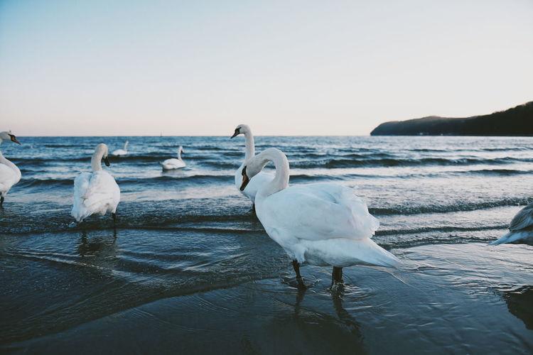 Swans on beach against clear sky