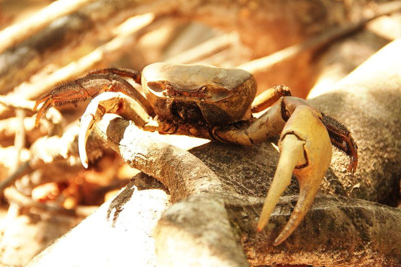 Animal Themes Crab Animals In The Wild One Animal Animal Wildlife Close-up Outdoors Beach Day Nature Claw Hermit Crab No People Crustacean Fossil Don't Move HAIRY LEG MOUNTAIN CRAB