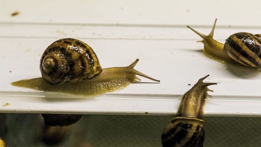 Helix Aspersa Maxima Snail African Snails Animal Shell Animal Themes Antenna Close-up Crawling Focus On Foreground Gastropod Molluscs Mollusk Nature No People Shell Small Snail Snails Zoology