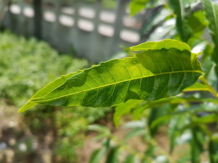 Neem Neem Tree Neem Leaves. Sadao Mosquito Repellant Nature_perfection Naturelovers Green Color Focus On Foreground Close-up Nature Green Day Outdoors Beauty In Nature No People Farm Tranquility Zoology Vibrant Color First Eyeem Photo Plant Green Thailand